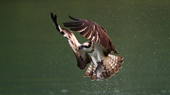 Osprey (jonus weng) Tags: bird osprey fish wing