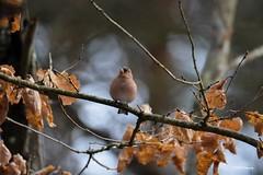"""""""Le pinson"""" (leguen.maxime) Tags: pinson oiseaux nature animal 2019 forêt loiret hiver"""