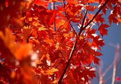 Canadian Maple Leaves ...  Feuilles d'Erable Canadien (Bob (sideshow015)) Tags: canada érable arbres québec nikon 7100 sigma feuilles rouge automne nature changementdecouleur maple trees quebec leaves red fall changingcolors depth field