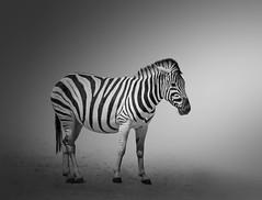 Zebra (Kevin Rheese) Tags: africa zebra stripes wildlife etoshanationalpark namibia cutout plainszebra fulllength animal oshikotoregion na