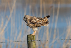 Short-Eared Owl 14-04-2018-4340 (seandarcy2) Tags: owl shortie handheld wild wildlife cambs uk birds owls fenland shorteared