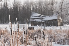 Ghosts without and within (Tracey Rennie) Tags: backintheday 52weekchallenge winter alberta cattails bulrushes snow barn abandoned