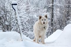_ROS3557-Edit.jpg (Roshine Photography) Tags: dog yukonquest environmental dawsoncity yukonterritory snow yukon canada ca