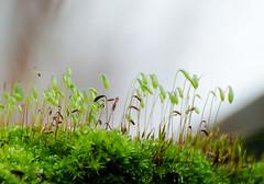 Season 4 Moss. (Omygodtom) Tags: season moss macro bokeh hardlight green tamron90mm tamron texture d7100 dof nature nikkor natural flora nikon