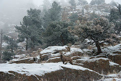 Be-ewe-tiful (RkyMtnGrl) Tags: landscape nature scenery rocks cliffs pines trees snow foggy fog atmosphere bighorn sheep ewe southstvraincanyon colorado7 colorado winter february