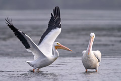 """You can do it! American White pelican taking flight while another pelican cheers him on at low tide at J.N. """"Ding"""" Darling National Wildlife Refuge, Sanibel Island, Florida (diana_robinson) Tags: americanwhitepelican pelecanuserythrorhynchos pelicanfishing jndingdarlingnationalwildliferefuge sanibelisland florida"""