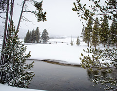 Bison in Gibbon Meadows (Upstate Dave) Tags: 2018 majorplaces mammals gibbonriver geographicname riversandstreams yellowstonenationalpark yellowstone bison gibbonmeadows places