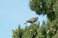 tourterelle et moineau pour un nid (guy dhotel) Tags: tourterelle moineau birds pin tree nid nest