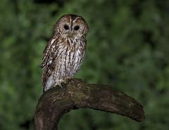 Non Captive Tawny Owl - Norfolk (Gary Stamp cPAGB) Tags: norfolk canon tawnyowl birds