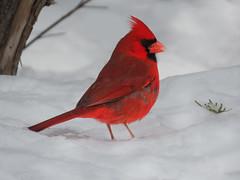 Cool Dude (Meryl Raddatz) Tags: bird snow red cardinal nature naturephotography canada