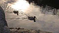 Evening light - (rotraud_71) Tags: bavaria oberpfalz rivernaab reflections eveninglight latewinter kallmünz water ducks