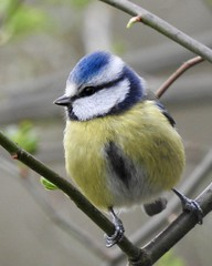 Blue Tit (LouisaHocking) Tags: british bird wild wildlife southwales wales forestfarm cardiff gardenbird tit nature naturereserve bluetit