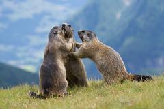 Marmots (Tsamsi) Tags: marmots austria alps austrianalps grosglockner mountains nikond7100
