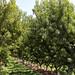 Orchards - Palisade, Colorado