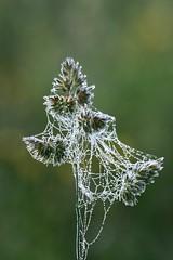 morning necklace (Wackelaugen) Tags: plant nature dew web canon eos photo photography stephan wackelaugen