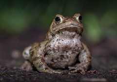 Toad alert! (ukmjk) Tags: common toad amphibian staffordshire stoke nikon nikkor d750 105vr