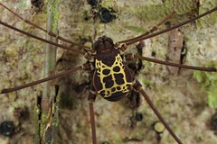 Opiliones (Scrubmuncher) Tags: opiliones costarica osapeninsula arachnid macro