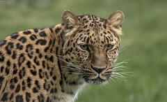 Freya - Amur Leopard (Jonnyfez) Tags: freya siberian amur leopard spots big cat endangered predator yorkshire wildlife park jonnyfez d500