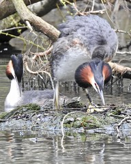 Great Crested Grebe (LouisaHocking) Tags: greatcrestedgrebe grebe animalbehaviour behaviour courtship mating wild wildlife nature southwales wales butedockeast bute cardiff wildfowl waterfowl british bird water