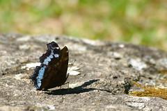 Kaniska canace ssp. canace - Doi Pha Tung_20180208_1020_DSC_8684_DxO (I love comments but delete awards - Jan F. Rasmuss) Tags: thailand d800 butterfly butterflies macro closeup insecta lepidoptera rhopalocera nikon janfischerrasmussen janfrasmussen asia southeastasia nymphalidae nymphalid nymphalids doi chiangmai chiangmaiprovince nymphalinae kaniskacanace canace kaniskacanacesspcanace