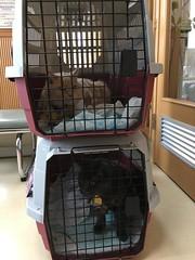 Two Stories of Cats (sjrankin) Tags: 22march2019 edited animal cat bonkers norio carrier catcage catcarrier vet vetclinic waitingroom kitahiroshima hokkaido japan