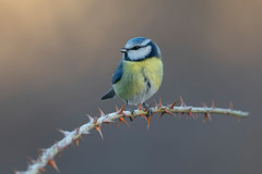 blue tit (leonardo manetti) Tags: bird nature red winter colours naturephotography field natural nikkor countryside green morning black blue tit uccello wood forest macro nikon d850