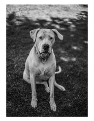 Nica (pablo.valdesogo) Tags: dogo argentino dog cute bnw black white