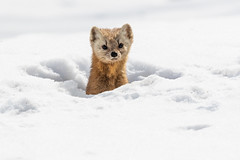 Pine Marten peering from nest in snow (dwb838) Tags: algonquinpark den winter pinemarten snow