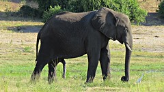 Botswana 5 legged Elephant in Chobe National Park (h0n3yb33z) Tags: botswana animals wildlife chobenationalpark elephant africa