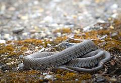 European Grass Snake (Marcus Kristof) Tags: natur nature nikon natrix snakes snake reptiles reptilien reptile ringelnatter grasssnake herpetology schlange
