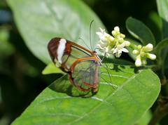 Vacances_0883 (Joanbrebo) Tags: mainau konstanz badenwürttemberg de deutschland canoneos80d mariposa papallona papillon butterfly farfalle eosd autofocus