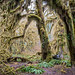 Hoh Rain Forest - Hall of Masses Trail