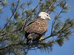Bald Eagle On A Pine Branch (amyboemig) Tags: bald eagle baldeagle bird turnersfalls turners falls ma winter march pine tree