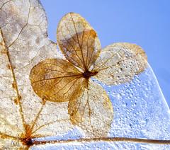 Cryogenic Hydrangea (marianna armata) Tags: p1120115 cryogenic hydrangea frozen flower ice bubbles macro blue sky mariannaarmata winter