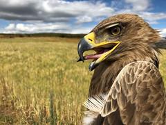 Tawny Eagle (npaprock) Tags: tawnyeagle eagle aquila aquilarapax amara ethiopia africa