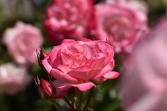 Rose 'Bordure rose' raised in UK (naruo0720) Tags: rose englishrose bordurerose englishrosescollection バラ イギリスのバラ ボーダーローズ イギリスのバラコレクション nikonscamera sigmalenses d810 sigma105mmf28exdgoshsm