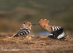 _THS7738ggtrsss (TARIQ HAMEED SULEMANI) Tags: sulemani tariq tourism trekking tariqhameedsulemani winter wildlife wild birds nature nikon