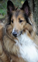 Bella.. (catherine4077) Tags: dog bella collie outside outdoors pet pampered