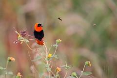 Orange bishop and the bee (charlescpan) Tags: