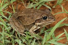 Giant Frog (Cyclorana australis) (Jordan Mulder) Tags: giant frog wildlife amphibian cyclorana australis