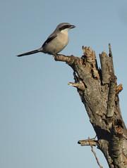 Loggerhead Shrike (stonebird) Tags: loggerheadshrike laniusludovicianus february ballonawetlandsecologicalreserve areab img7905