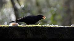 A hungry blackbird (moniquerebanks) Tags: blackbird merel amsel merlo closeup forest catchingthesun bird vogel maleblackbird outdoors bos wald gardenbird tuinvogel nikond7100 bokeh dof nature natuur natura