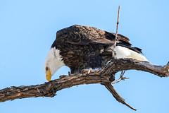 American Bald Eagle (Bernie Duhamel) Tags: americanbaldeagle bird birdsofprey raptor colorado coloradowildlife wildlife frontrange duhamel bernie greatphotographers teamsony rockymountains citypark denver