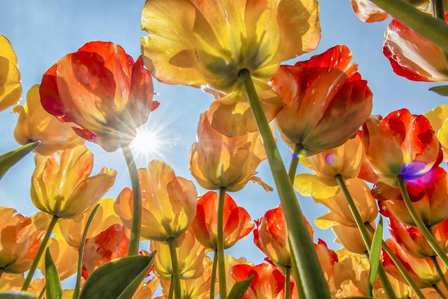 Обои небо, солнце, тюльпаны, бутоны картинки на рабочий стол, раздел цветы - скачать