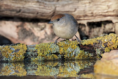 Capinera (F) all'abbeverata (Marcello Giardinazzo) Tags: capinera avifauna birds bird natura uccelli wild riflessi