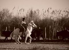 _DSC0656 (chris30300) Tags: camargue cheval