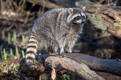 Raccoon (_K1_6005) (Ross G. Strachan Photography) Tags: britishcolumbia canada lostlagoon stanleypark vancouver animals heron raccoon wildlife ca