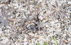 A master of disguise (Photosuze) Tags: moths insects bugs cryptic animals nature wildlife lepidoptera desert
