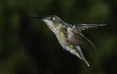 Bright Colors In Flight (Bill Gracey 23 Million Views) Tags: annashummingbird calypteanna hummingbird hummer hummingbirdphotography offcameraflash yongnuo yongnuorf603n outoffocusbackground color colorful nature naturephotography