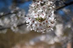 満開 / Full Blossom      Rodenstock Heligon  50mm F 2.0 (情事針寸II) Tags: ngc printemps spring 春 クローズアップ 自然 花 染井吉野 oldlens narure fleur flower cerisier cherryblossoms closeup bokeh rodenstockheligon50mmf20